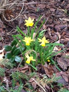 Daffodils April 3 2014