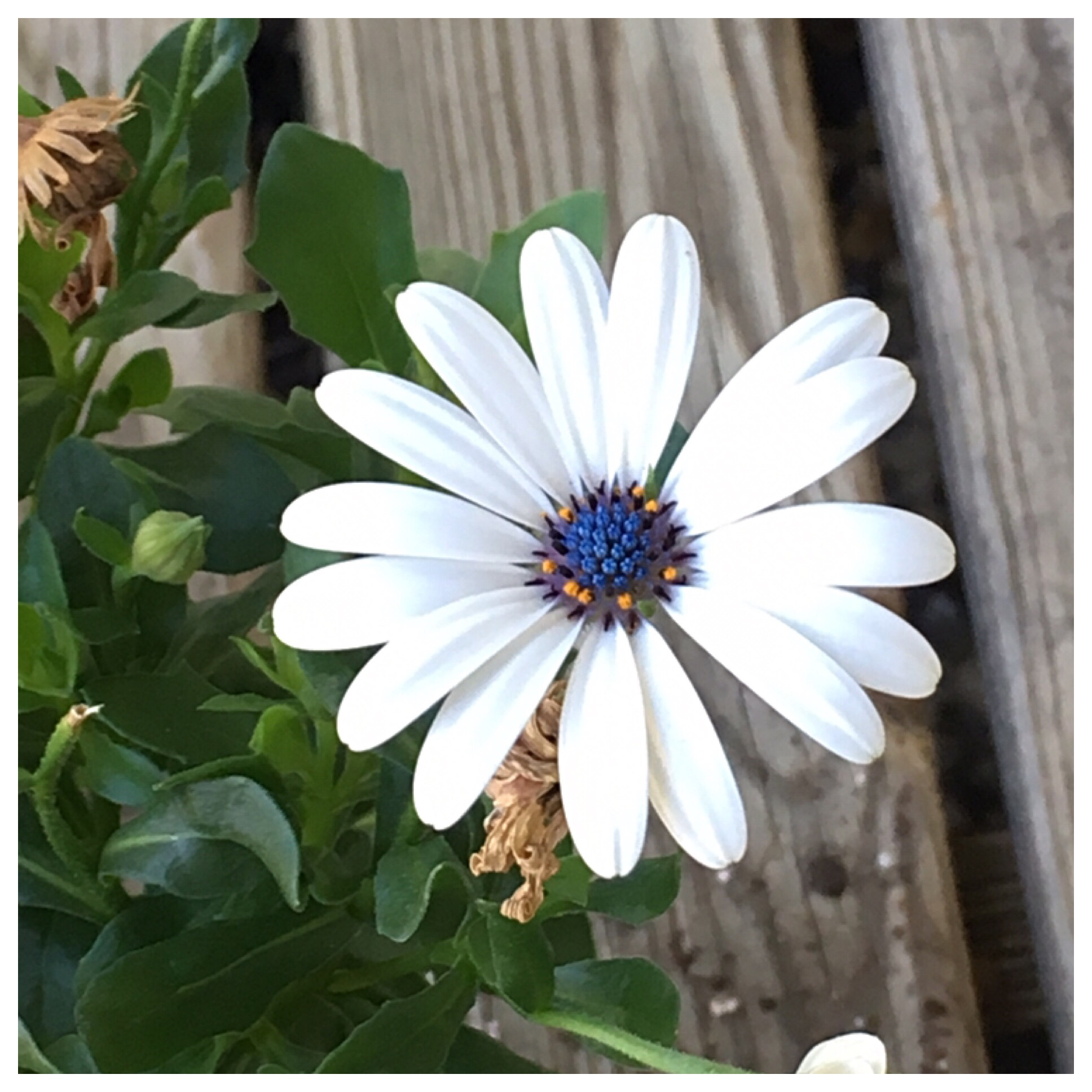 Blue-centered Daisy