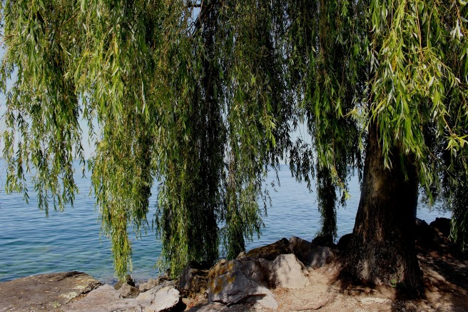 weeping-willow-383098_1920